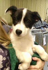 "Baby Male Dog - Border Collie: ""Doc"""