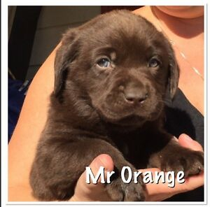 Registered with papers Labrador pups Woolgoolga Coffs Harbour Area Preview