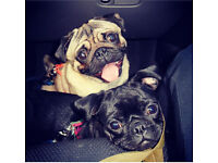 Beautiful pugs for sale £400