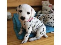 dalmatian puppy pedigree £120ovno 12 weeks old