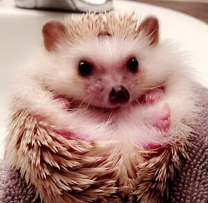 1 year old hedgehog, comes with cage