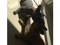 Two Adorable French Bulldogs for rehoming