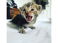Kittens for sale, loving homes only TWO LEFT