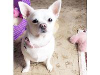 Beautiful female Chihuahua puppy