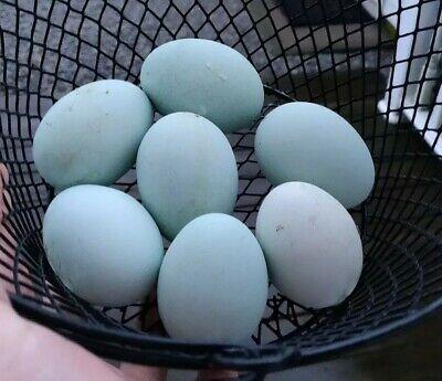 4 Black Ameraucana Chicken Hatching Eggs. Blue Fertile Fresh Americana