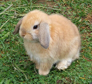 Purebred Holland Lop and Netherland Dwarf bunnies