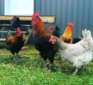 Blue and black french copper marans