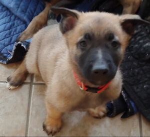 German Shepherd & Belgian Malinois Shepherd Puppies