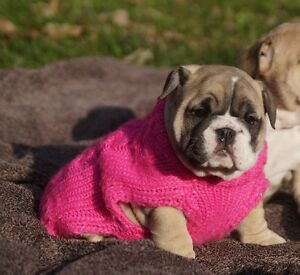 CKC English Bulldog & French Bulldog puppies