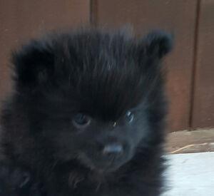 tiny pomeranian pup ckc registered