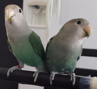 Bébés inséparables - Lovebirds