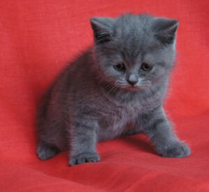 British Shorthair kittens. West Island Greater Montréal image 1