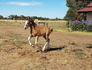 Lovely hunter type clydesdale x tb filly Echuca Campaspe Area Preview