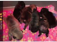 Top quality KC REG French bulldog puppies