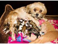 Beautiful lhasa apso puppies