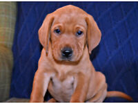 KG Reg Red Labrador Puppies (1 bitch remaining)