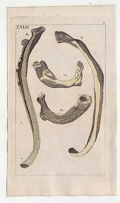 Rippen-Knochen-Medizin-Anatomie - Kupferstich 1810 G. T. Wilhelm