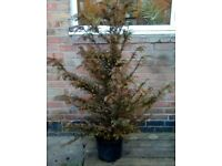English Yew / Taxus baccata small tree