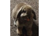 2 beautiful make minilops and 1 female long eared lop free to good homes.