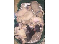 Fug (pug cross French bulldog) puppies