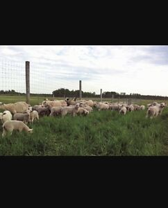 Wanted,  lambs - new crop