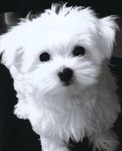 WANTED-Maltese puppy