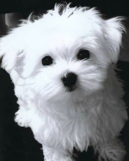 Wanted: Wanted Maltese puppy