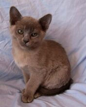 BURMESE PUREBRED KITTENS Hawkesbury Heights Blue Mountains Preview