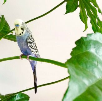 Wanted: Budgie North Fremantle