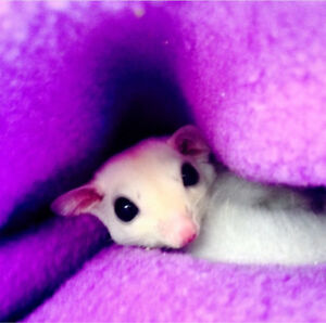 Female sugar gliders (whiteface and leucistic)