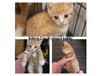 8 week old ginger male kittens