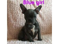 Stunning French Bulldog pups Blues ready now