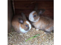 Baby rabbits pair for £20