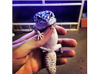 beautiful leopard gecko with viv and set up only £50!