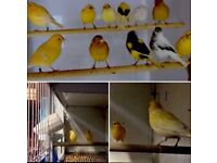 Canary's birds for sale