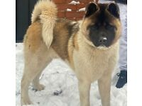 MALE AKITA 1YEAR OLD