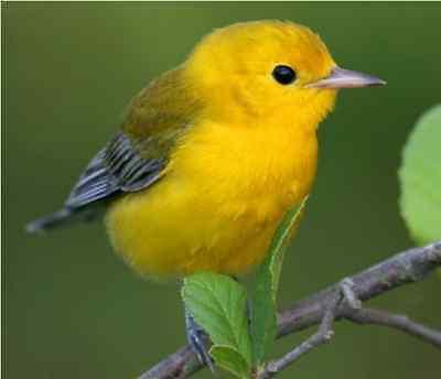 Bird Sounds from North America, Bird Songs and Bird Calls. 25 Singing Birds CD