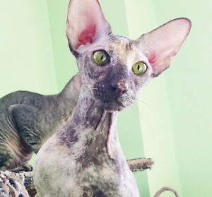 Female Peterbald - expensive and rare