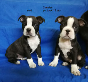 2 PUPPIES BOSTON TERRIER  1 MALE 1 FEMALE, BORN 14 AND  27 MAY