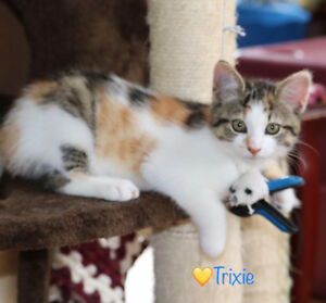 Trixie, Calico Kitten for Adoption with KLAWS