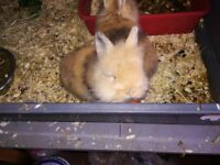 MALE BABY LIONHEAD RABBITS FOR SALE