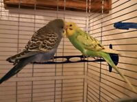 Tamed compatible budgies