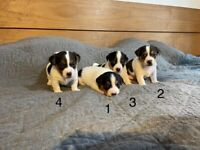 Jack Russell Puppies , Tricolour , Miniature