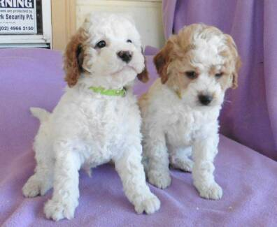 Cavoodle Puppies Maitland Maitland Area Preview