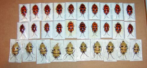 Man Face Bug and Dead Head Bug 30 Lot 2 Species Adult Specimens