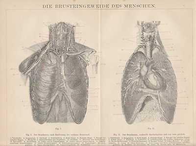 Brusteingeweide Lunge Herz Anatomie HOLZSTICHE von 1882 innere Organe