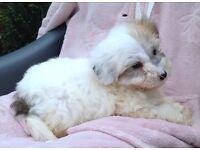 Maltese x Shih tzu (malshi) boy puppy
