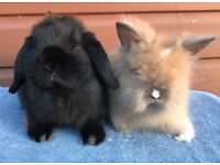 Beautiful pair of does perfect pets black mini lop and sooty lionhead
