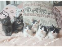 Two Left* Cute Ragdoll x Kittens ready now