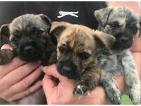 Pug x Cairn Puppies